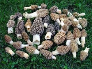 Michigan Morel Mushrooms